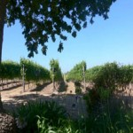 vineyard_view